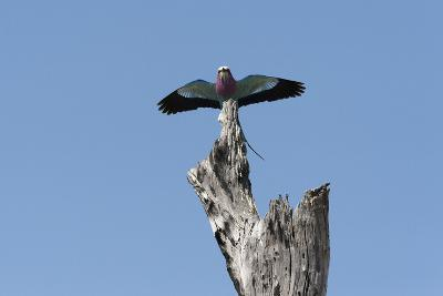 A Lilac-Breasted Roller, Coracias Caudatus, Landing on an Old Tree Snag-Sergio Pitamitz-Photographic Print