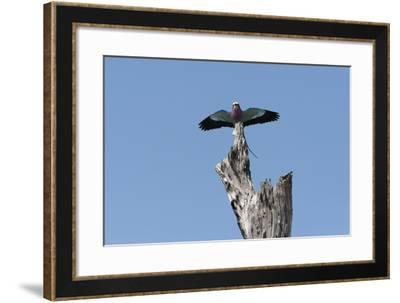 A Lilac-Breasted Roller, Coracias Caudatus, Landing on an Old Tree Snag-Sergio Pitamitz-Framed Photographic Print