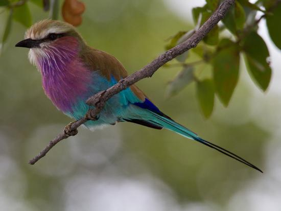 A Lilac-Breasted Roller, Coracias Caudatus, Perched on a Branch-Roy Toft-Photographic Print