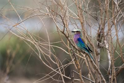 A Lilac-Breasted Roller, Coracias Caudatus, Perching on a Tree Branch-Sergio Pitamitz-Photographic Print