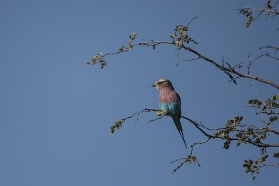 A Lilac Breasted Roller Perched in a Tree-Bob Smith-Photographic Print
