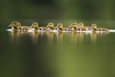 A Line of Mallard (Anas Platyrhynchos) Ducklings Swimming on a Still Lake, Derbyshire, England, UK-Andrew Parkinson-Photographic Print