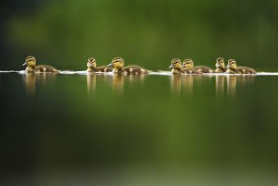 A Line of Mallard (Anas Platyrhynchos) Ducklings Swimming on a Still Lake, Derbyshire, England, UK-Andrew Parkinson-Photographic Print