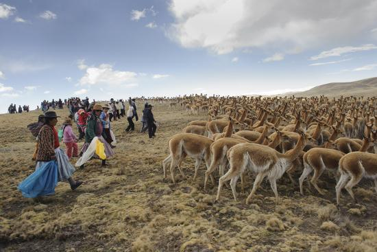 A Line of Quechua Villagers Herd a Group of Wild Vicuna-Beth Wald-Photographic Print