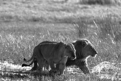 A Lion and Lioness, Panthera Leo, Walking Side by Side Through Flooded Grasses-Beverly Joubert-Photographic Print