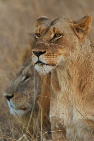 A Lion and Lioness Rest in the Grass at the Phinda Game Reserve-Steve Winter-Photographic Print