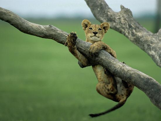 A lion cub hangs from a branch.-Beverly Joubert-Premium Photographic Print