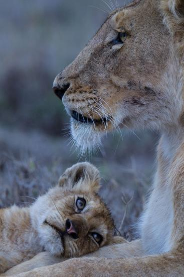 A Lion Cub Looks Up at its Mother-Michael Nichols-Photographic Print