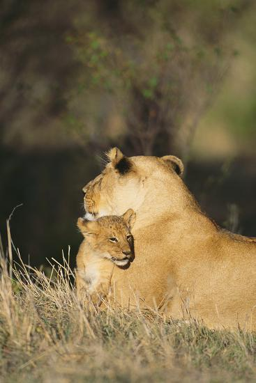 A Lion Cub Nestles Against Its Mother-Norbert Rosing-Photographic Print