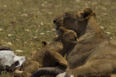 A Lion Cub Nuzzling its Mother Near an African Buffalo Skull-Beverly Joubert-Photographic Print