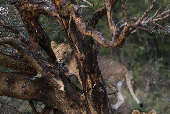 A Lion Cub, Panthera Leo, Climbing in an Acacia Tree-Sergio Pitamitz-Photographic Print