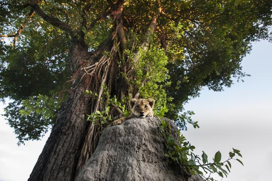 A Lion Cub, Panthera Leo, Relaxing on an Ant Hill under a Large Tree-Matthew Hood-Photographic Print