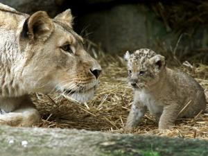 A Lion Cub Peeks into the World While Sitting Next to Its Mother Inka at the Munich Zoo