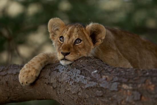 A Lion Cub Rests on a Tree Branch in Serengeti National Park-Michael Nichols-Photographic Print