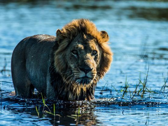 A Lion, Panthera Leo, Standing In Water In Botswana's Okavango Delta-Beverly Joubert-Photographic Print