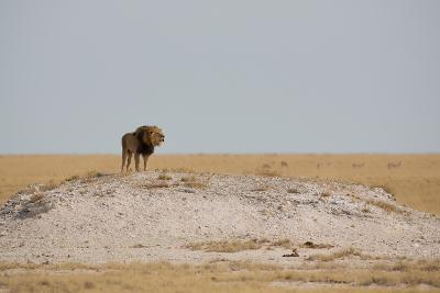A Lion, Panthera Leo, Surveying His Territory-Alex Saberi-Photographic Print