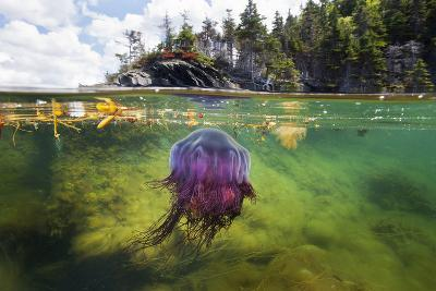 A Lion's Mane Jellyfish Drifts in the Shallows of Bonne Bay-David Doubilet-Photographic Print