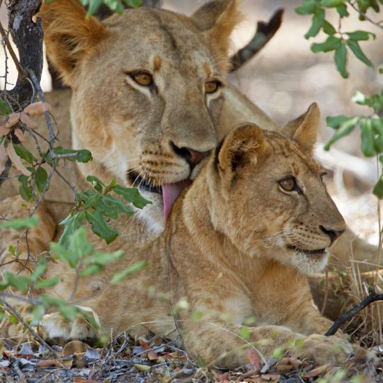 A Lioness and Cub in Selous Game Reserve-Nigel Pavitt-Photographic Print