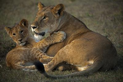 A Lioness and Her Cub, Lying Next to Each Other and Playing-Beverly Joubert-Photographic Print