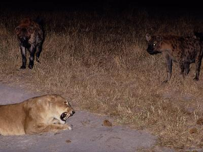 A Lioness Being Threatened by a Band of Spotted Hyenas-Beverly Joubert-Photographic Print