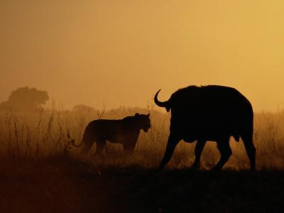 A Lioness Confronts a Cape Buffalo-Beverly Joubert-Photographic Print