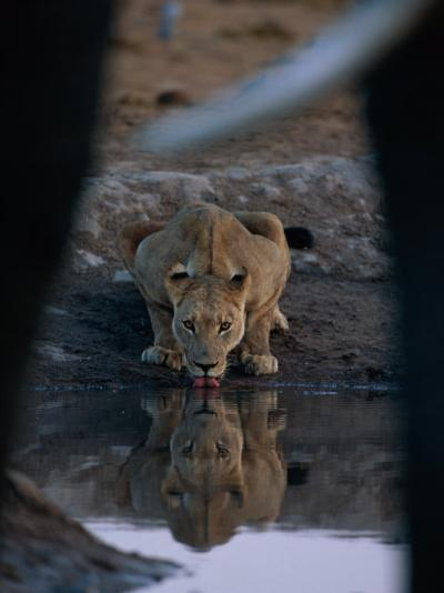 A Lioness Drinks from a Pool of Water-Beverly Joubert-Photographic Print