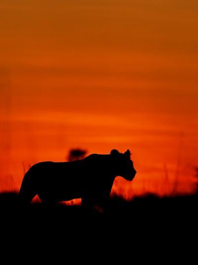 A Lioness Gathering Her Cubs Together at Sunset-Beverly Joubert-Photographic Print