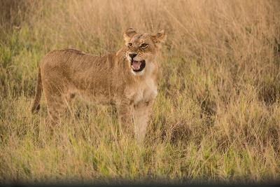 A Lioness in Tall Grasses Snarling or Displaying Flehmen Behavior-Bob Smith-Photographic Print