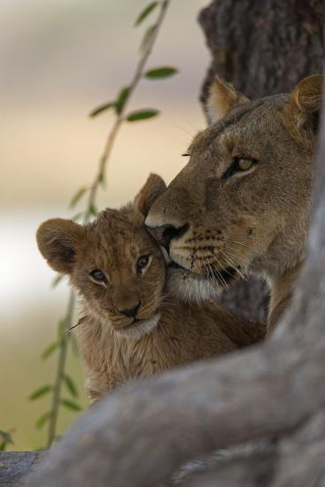 A Lioness Nuzzling Her Cub-Beverly Joubert-Photographic Print