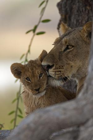 https://imgc.artprintimages.com/img/print/a-lioness-nuzzling-her-cub_u-l-pyyadg0.jpg?p=0