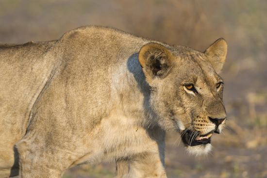 A lioness (Panthera leo) walking, Savuti marsh, Chobe National Park, Botswana, Africa-Sergio Pitamitz-Photographic Print