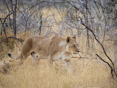 A Lioness, Panthera Leo, Walks Through Long Grass Among Trees-Alex Saberi-Photographic Print