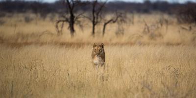 A Lioness, Panthera Leo, Walks Through Long Grasses-Alex Saberi-Photographic Print