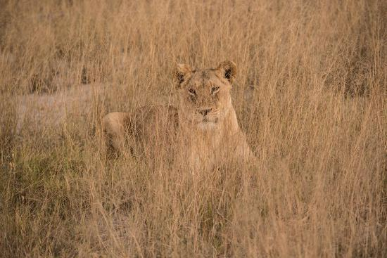A Lioness Resting in Tall Grasses-Bob Smith-Photographic Print