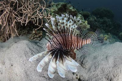 A Lionfish Swims on a Reef in Komodo National Park, Indonesia-Stocktrek Images-Photographic Print