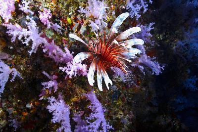 A Lionfish with Venomous Spines Swimming Vertically Up a Coral Wall-Jason Edwards-Photographic Print
