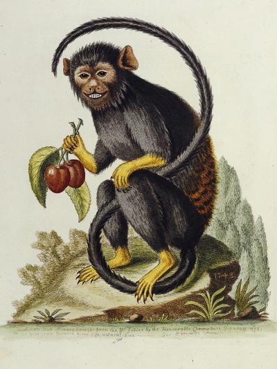 A Little Black Monkey Brought from the West Indies by Commodore Fitzroy Lee-George Edwards-Giclee Print