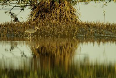 A Little Blue Heron Forages Underneath a Mangrove Tree in the Orinoco River Delta-Timothy Laman-Photographic Print