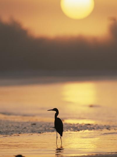 A Little Blue Heron Silhouetted on a Florida Beach at Sunrise-Roy Toft-Photographic Print