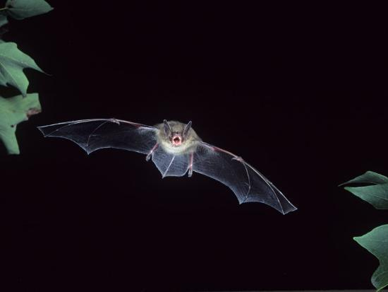 A Little Brown Bat in Flight Echolocating at Night, Myotis Lucifugus, North America-Joe McDonald-Photographic Print