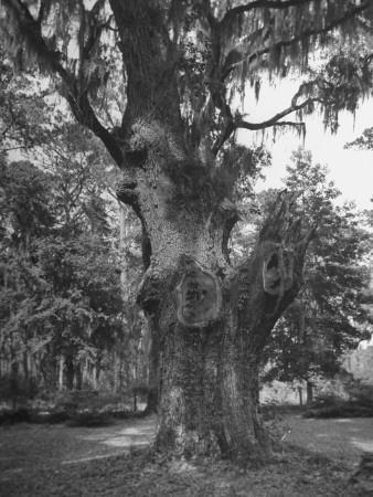 https://imgc.artprintimages.com/img/print/a-live-oak-tree-with-spanish-moss-hanging-from-them_u-l-peifht0.jpg?p=0