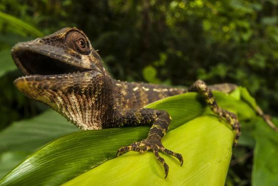 A Lizard in Sri Lanka-Cristina Mittermeier-Photographic Print