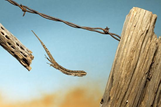 A Lizard Jumping Off A Fence-Karine Aigner-Photographic Print