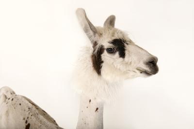 A Llama, Lama Glama, after a Recent Summer Haircut at the Lincoln Children's Zoo-Joel Sartore-Photographic Print