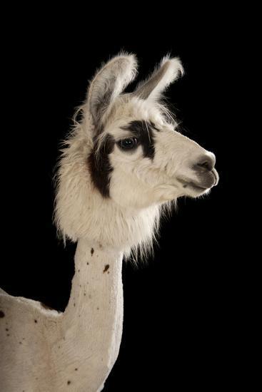 A Llama, Lama Glama, after a Recent Summer Haircut at the Lincoln Children's Zoo.-Joel Sartore-Photographic Print