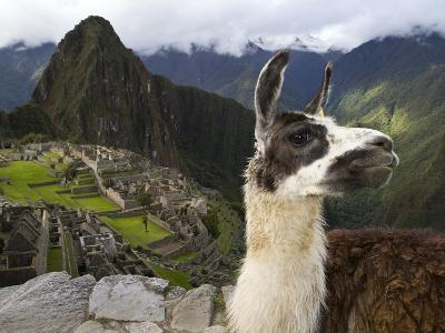 A Llama on a Road Above Machu Picchu-Michael Melford-Photographic Print
