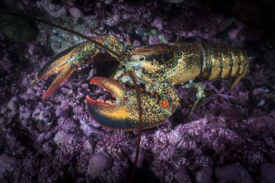 A Lobster Rests on the Seafloor Off Bonaventure Island in the Gulf of Saint Lawrence-David Doubilet-Photographic Print