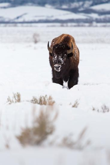 A Lone Bison Walking Through Antelope Flats Covered In Snow. Grand Teton National Park, Wyoming-Mike Cavaroc-Photographic Print