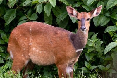 A Lone Bushbuck Stands Alert in the Forest Near Kenya National Park-Shannon Switzer-Photographic Print