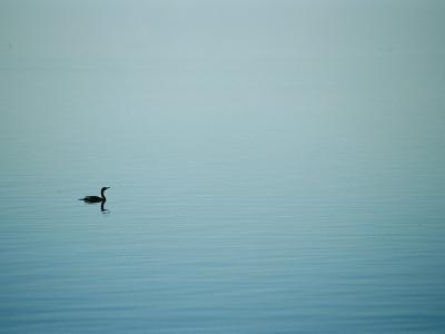 A Lone Cormorant Drifts on a Fog-Shrouded Lake-Stephen St^ John-Photographic Print